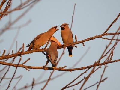 kvindelige bryster skader fugl engelsk