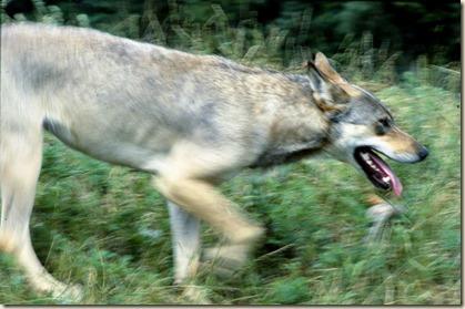 Ulve_ulve_foredrag_Skagen