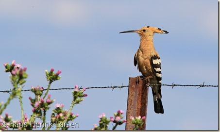 Hærfugl forsvandt da de store dyr blev forvist fra skovene_Med en vildere forvaltning er det håbet, at den vil vende tilbage_foto_Hans_Henrik_Larsen
