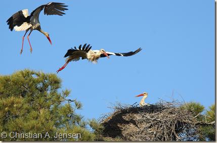 Hvid stork yngler naturligt i store træer i vilde, lysåbne landskaber