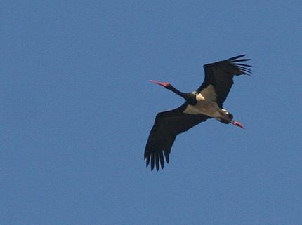 sort stork